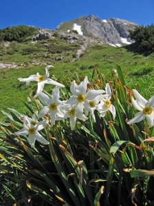[white daffodils in the foreground, field and mountains in the background]