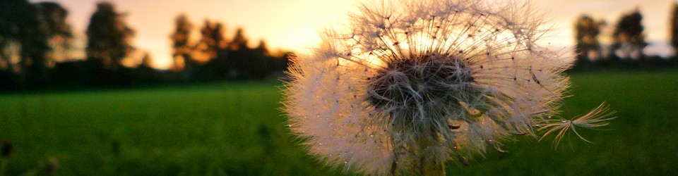 [dandelion implying time floating away]